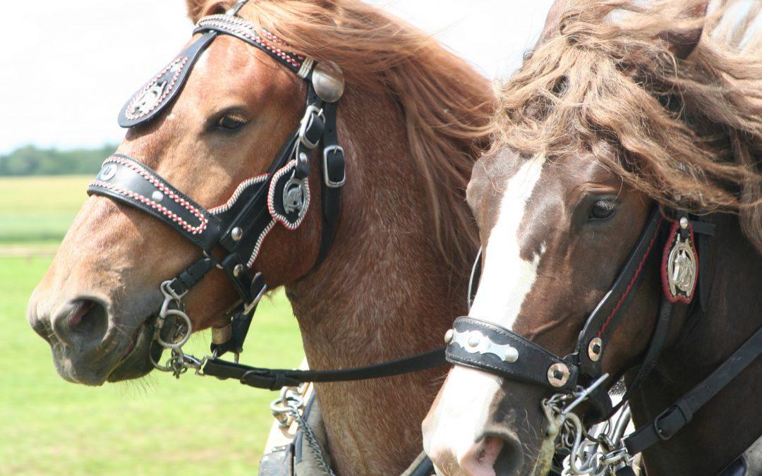 Sacharidy ve výživě koní
