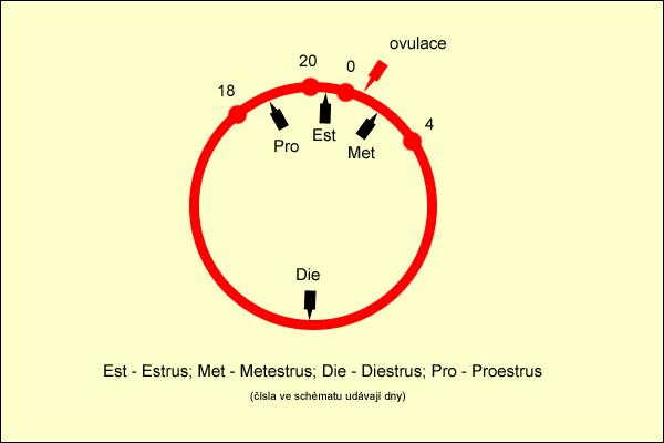 Reprodukční soustava a pohlavní cyklus krav