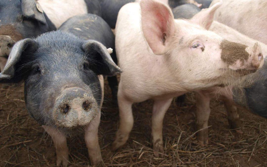 Stavy prasat v ekologickém zemědělství
