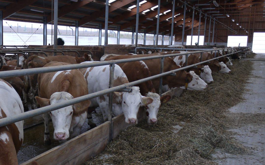 Krávy – jak je živit? aneb Výživa krav má své zákonitosti