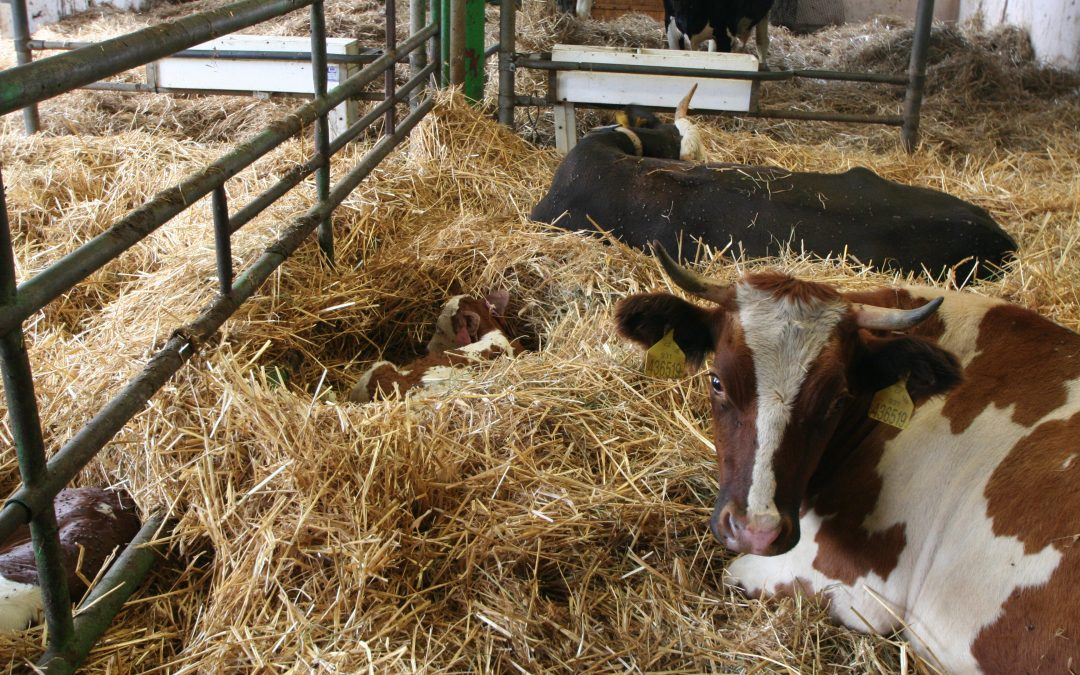 Výživa dojnic v okoloporodním období