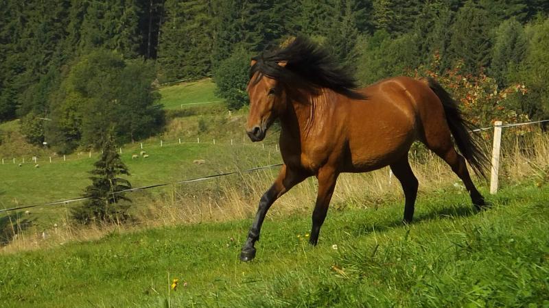 Národní plemena koní – huculský kůň