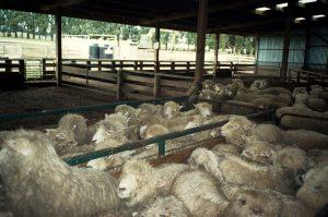 Nahánění ovcí.