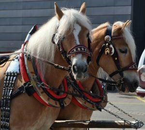 Krásu koní jste nemohli přehlédnout.