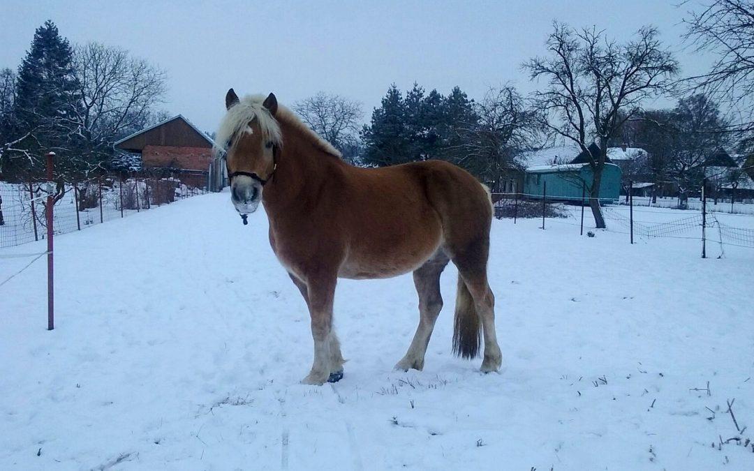 Adaptační mechanismy koňského organismu v zimě