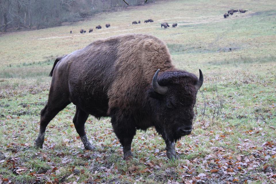 Chov bizonů