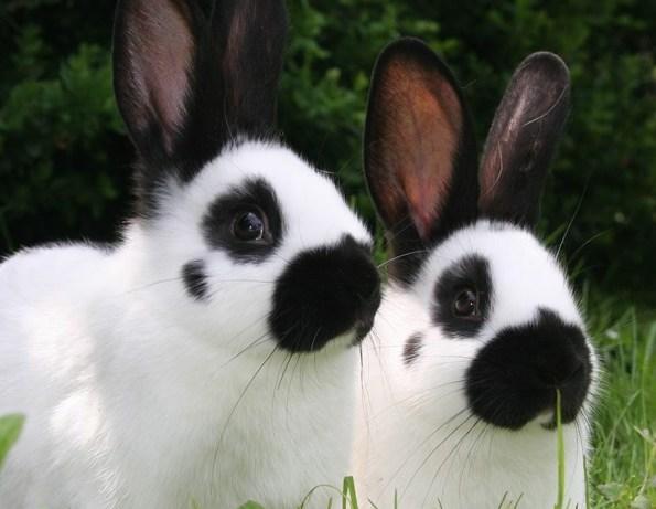 Plemena králíků zahrnují nejvíce genových zdrojů ČR