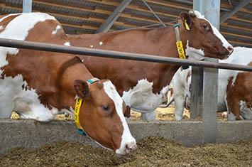 Vliv tělesné kondice skotu na reprodukci mléčných stád