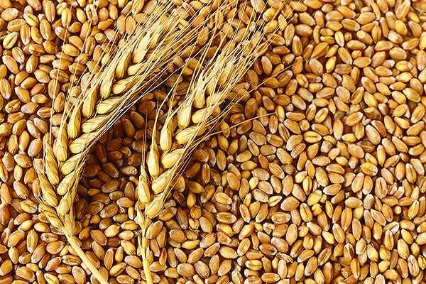 Nemožné se stalo skutečností – genom pšenice rozluštěn!