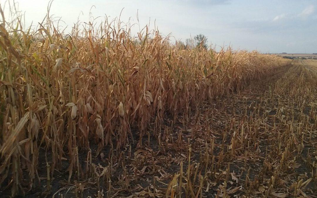 Kompenzace škod způsobených suchem vyvolala enormní zájem pěstitelů
