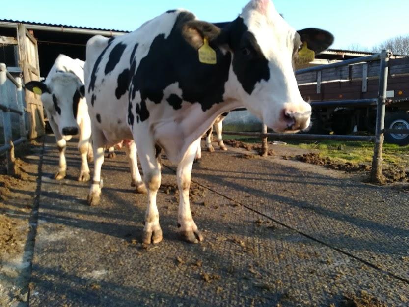 Očekává se další pokles výkupních cen mléka, produkce bude nadále stoupat
