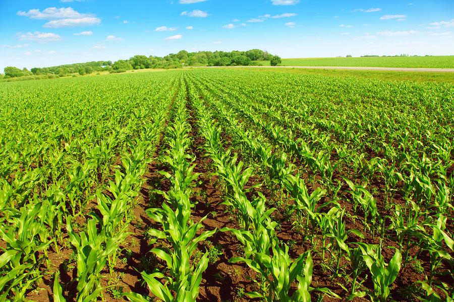 Česká pole se zásadně změní. Podle nových pravidel už nebude možné pěstovat jednu plodinu na ploše větší než 30 hektarů