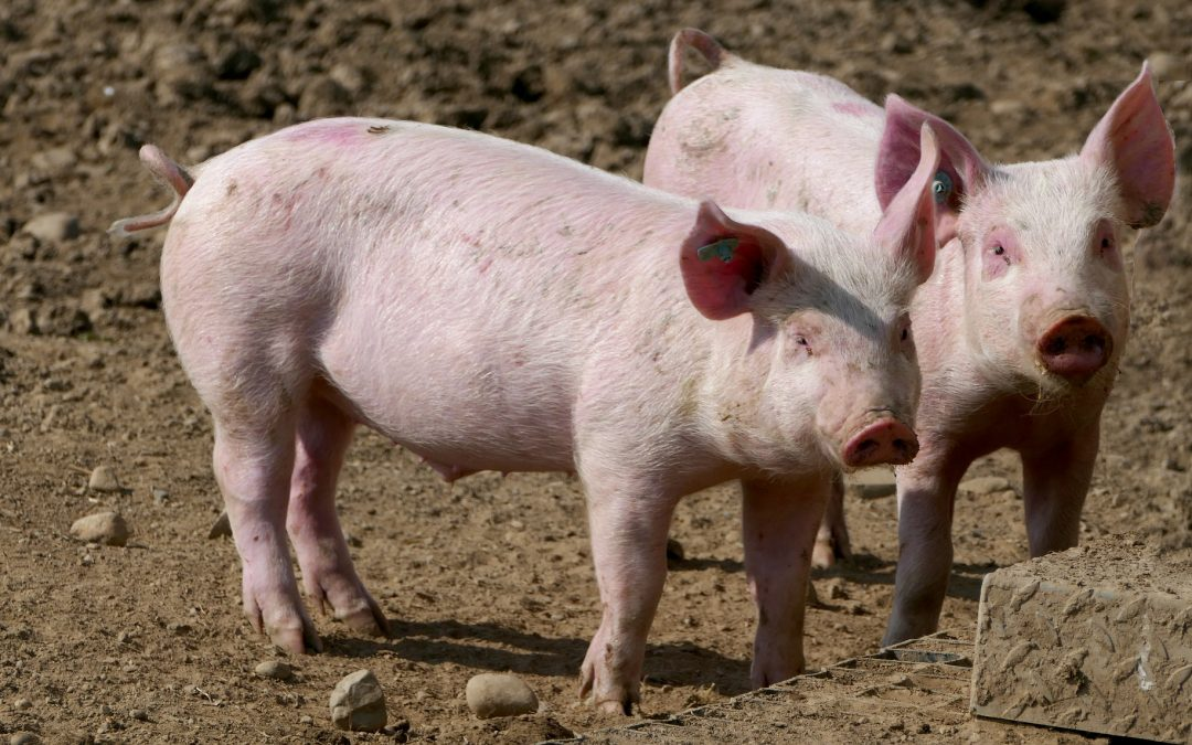 Ministerstvo zemědělství podpoří v příštím roce  především zlepšení podmínek v chovech hospodářských zvířat