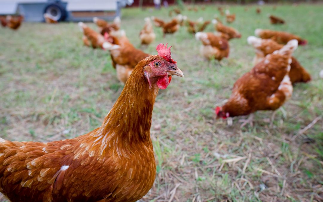 V Česku je druhé ohnisko ptačí chřipky, objevila se na Pardubicku