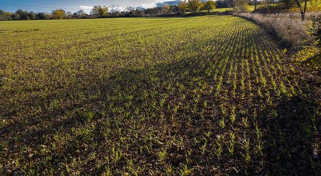 Sucho poškodilo jihočeským zemědělcům ozimy, budou je zaorávat
