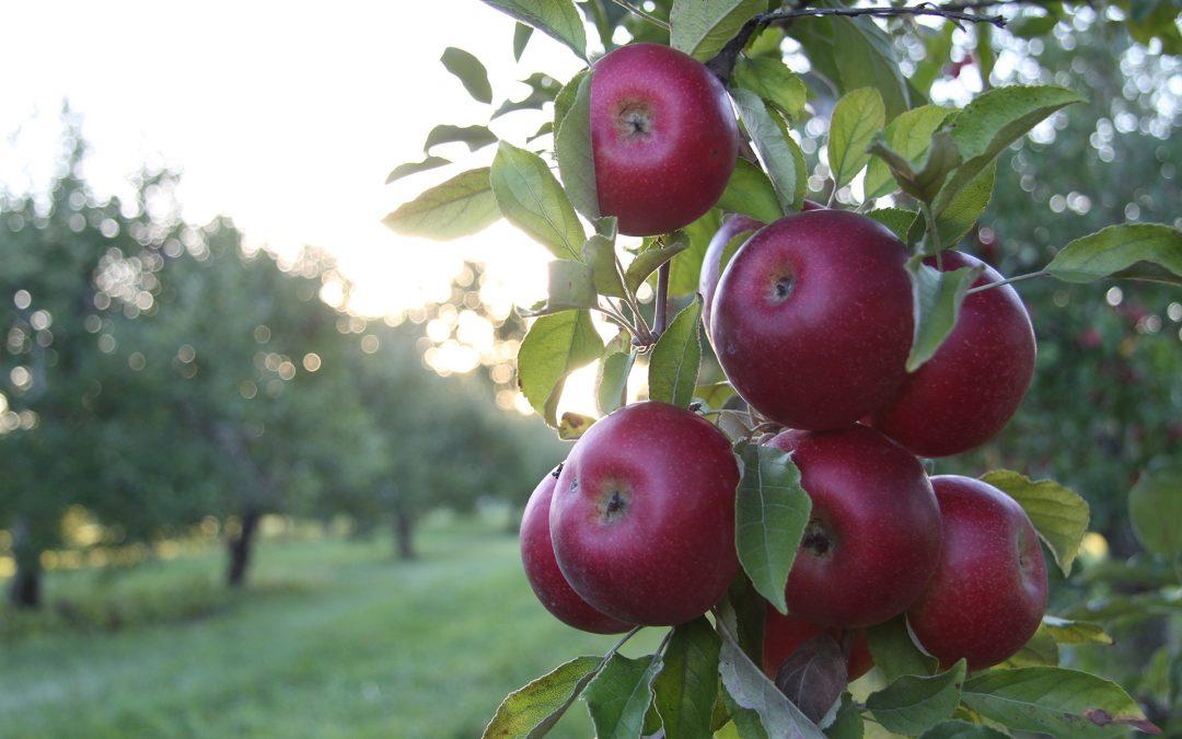 Ceny jablek vzrostly o 40 procent, důvodem je nízká úroda