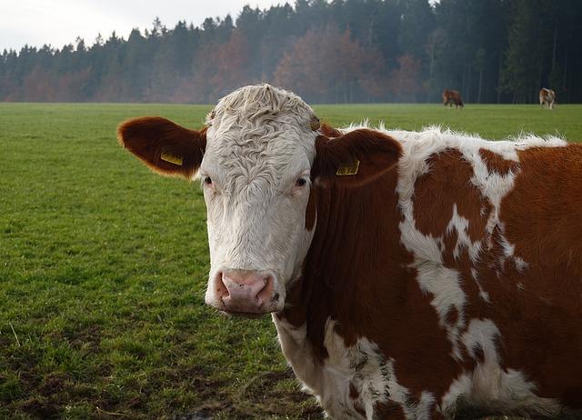 Krávy na STK