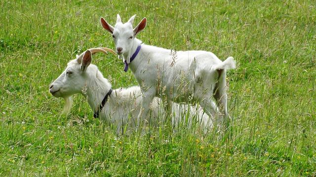 EKOzy – o zastoupení parazitů v chovech koz