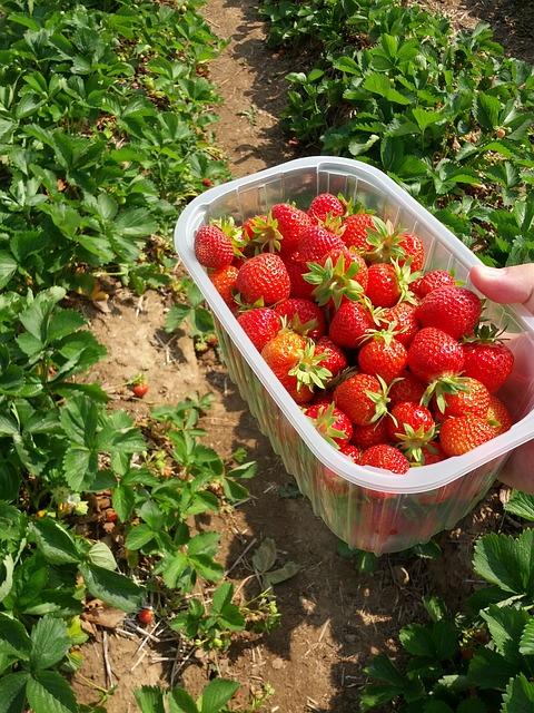 Na plantáži v Holešově dnes začal samosběr jahod, úroda je dobrá