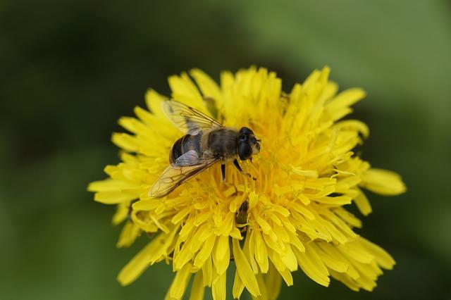 Včelám ubývá obživa, kvůli suchu i nevhodné výsadbě
