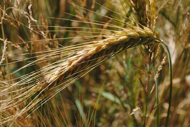 Na jižní Moravě začala jako první sklizeň ječmene ozimého