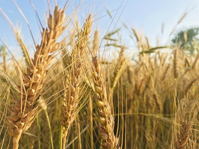 Zemědělci asi budou mít vyšší tržby za obilí než za mléko