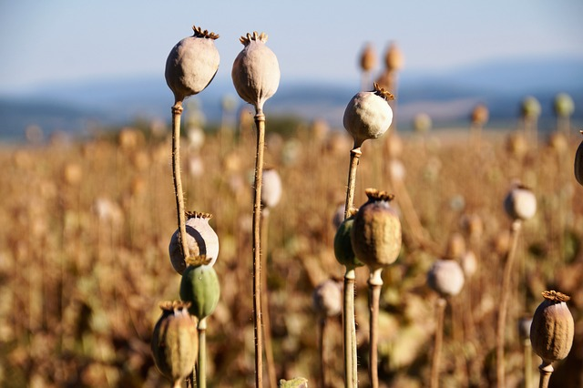 Jihočeská firma Daňhel Agro čeká dobrou úrodu máku