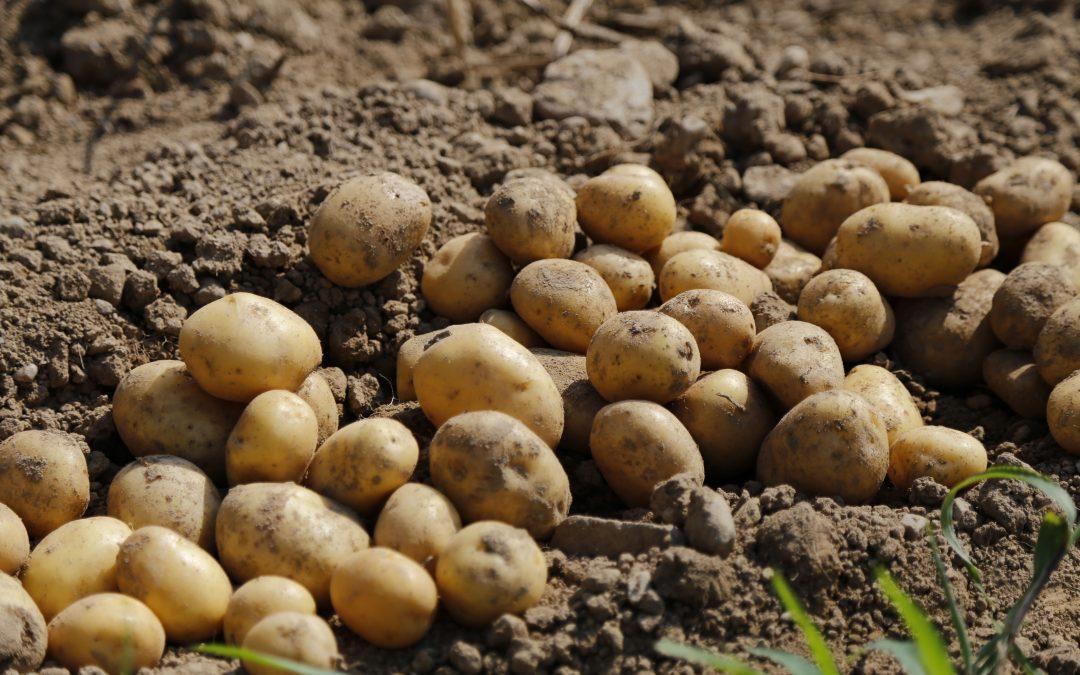 Na Vysočině začíná sklizeň brambor, vyhlídky pěstitelů kazí déšť