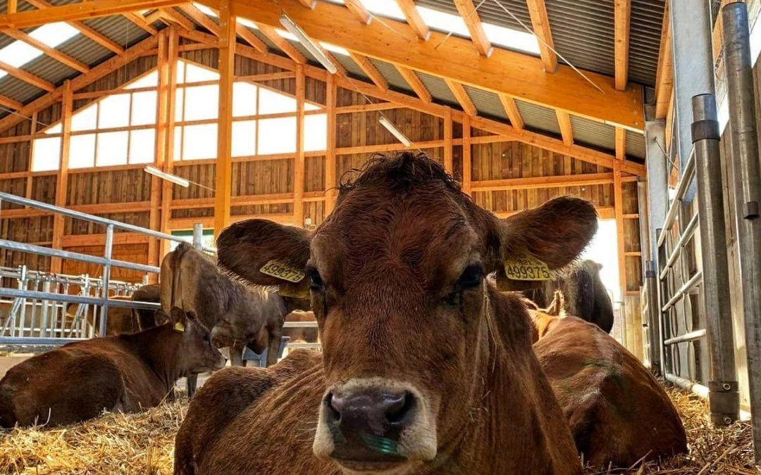 Ve školní stáji na Domažlicku robot krávy nakrmí, podojí i podrbe