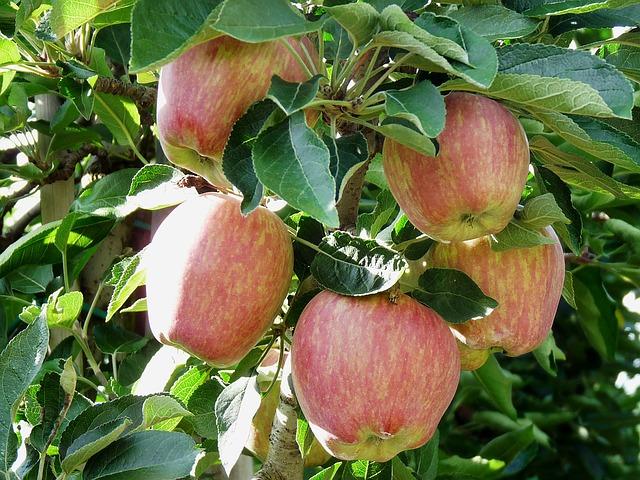 Ceny jablek od srpna klesly téměř o 30 procent na 35 Kč/kg
