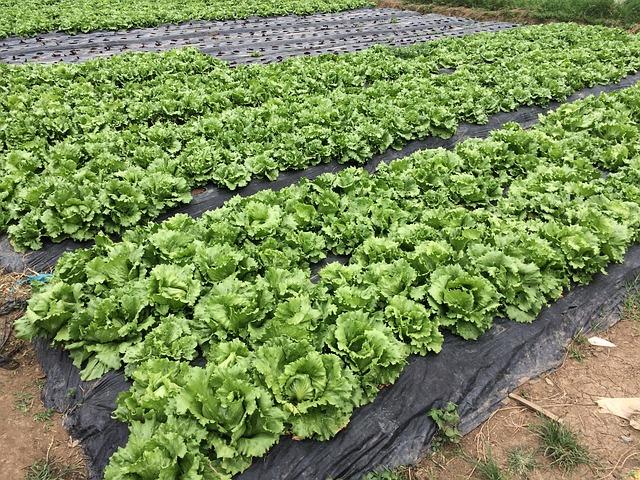Tržní produkce zeleniny v Česku loni mírně klesla na 230.835 tun