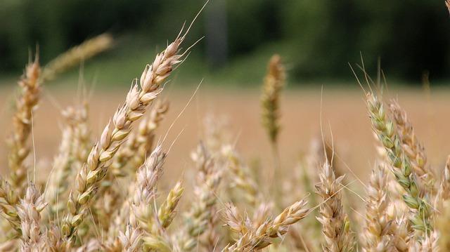 Středočeští zemědělci sklidili meziročně o pět pct více obilovin