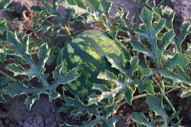 Farmář letos očekává lepší úrodu zeleniny, v srpnu nabídne samosběr