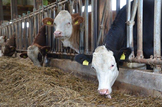 Co je dobré vědět o robotickém dojení krav – 3. část: Vliv na zdravotní stav