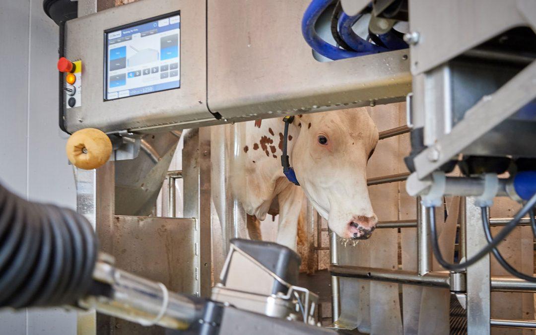 Co je dobré vědět o robotickém dojení – 1. část: Volný nebo nucený pohyb krav?