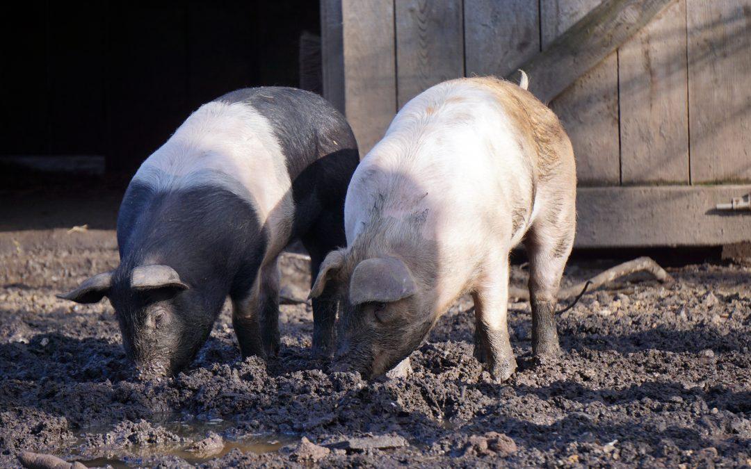 ČSÚ: Počty prasat klesly za 20 let o 56 procent a počty krav o devět procent